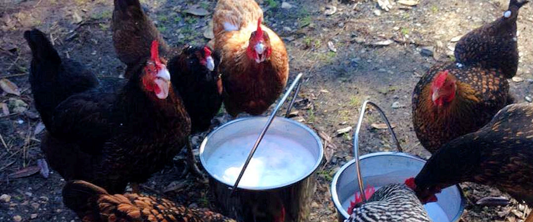 chickens-milk-buckets